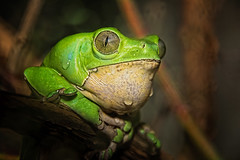 Giant Waxy Tree Frog (John Greg Jr) Tags: amphibians animals cleveland clevelandmetroparkszoo frogstoads giantwaxytreefrog ohio usa unitedstates zoo exif:isospeed=400 camera:model=nikond7100 exif:model=nikond7100 exif:make=nikoncorporation exif:aperture=56 exif:lens=1803000mmf3556 exif:focallength=165mm camera:make=nikoncorporation