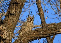 Great Horned Owl (K Fletcher) Tags: canada calgary bird raptor alberta owl greathornedowl