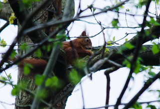 Eichhörnchen, NGIDn1016308174