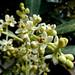 Fiori d'olivo