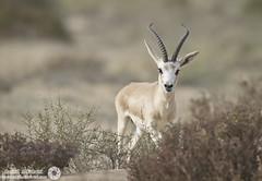 Gazelle (RASHID ALKUBAISI) Tags: nikon d3 2012 doha qatar rashid راشد بوخليفة بوخليفه غزال d3x alkubaisi d3s الكبيسي ralkubaisi nikond3s mygearandme wwwrashidalkubaisicom