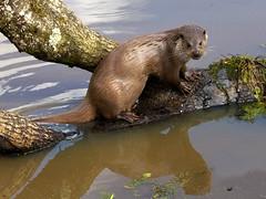Otter 2 (Robert-Bannister) Tags: nature wildlife otter mammals lutralutra commonotter europeanotter eurasianotter robertbannister