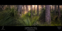 Lighting the Way (southern_skies) Tags: morning green forest bush australia bark queensland crowsnest grasstrees