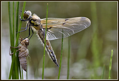 Birth of a new phase (Jan Visser Renkum) Tags: fourspottedchaser libellulaquadrimaculata viervlek