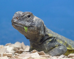 Uromastyx, Spiney-tailed lizard (simon.therosary) Tags: lizard uromastyx spineytailedlizard