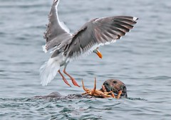 Crab Dinner Competition (metherit) Tags: sea bird nature canon gull crab attitude otter survival avian feathered metherit