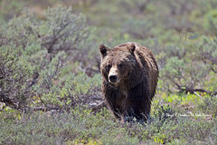 Approaching Grizzly Bear (Explored) (Daryl L. Hunter - Hole Picture Photo Safaris) Tags: closeup wyoming jacksonhole grizzlybear grandtetonnationalpark grandtetonparkgrizzlybearjacksonholewyominggrandtetonnationalparkunitedstatesusa