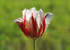 Tulip (Dragan*) Tags: light plant flower nature colors field grass closeup serbia tulip getty belgrade beograd lala srbija cvet