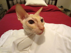 Archie (SardineTea) Tags: nyc newyorkcity cats newyork cat kitties felines cornishrex urbankitty urbancat urbancats sardinetea urbanfelines