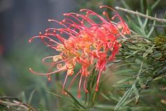 Grevillea (loobyloo55) Tags: life flower nature canon flora earth plan australia nsw grevillea canoneos400d earthnaturelife