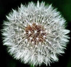 Startrek (GelsenBuer) Tags: plant flower nature star nikon pflanze seed dandelion blume stern samen löwenzahn d90 ntur nikond90
