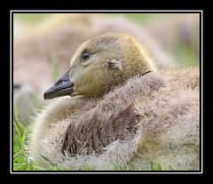 thinking/reflextion (davejv) Tags: birds lasalle canadagoose bernacheducanada parcdesrapides