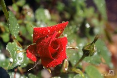 Rose im Regen  / rose at rain (Ellenore56) Tags: light red inspiration color detail macro reflection rot floral rain weather rose botanical licht photo flora focus foto rainyday blossom perspective drop rosebud bloom raindrops vista droplet imagination outlook moment makro blte magical farbe reflexion sunbeam sonnenstrahl rainfall regen raindrop sunray wetter perspektive reflektion tropfen rosenknospe dud regentag augenblick fokus rainday florescence floribunda botanik regentropfen raininmay mairegen trpfchen roseflower faszination rosenblte intherain rayofsunlight pflanzenwelt edelrose sonya350 rosepental ellenore56 31052012 1rose2012 firstrose2012 pentalofroses kleinersonnenstrahl littlesunray mairegenmachtgros