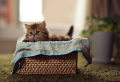 A Fresh Basket of Daisy II (torode) Tags: cat persian kitten basket blueeyes towel daisy rug weave potplant towell