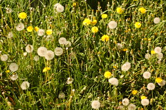 Wishes (mollycaitlin) Tags: finland helsinki dandelion suomenlinna wishing makeawish