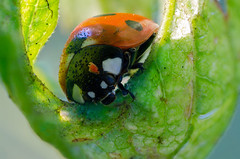 Mite problem (crisarg (old stream)) Tags: macro naturallight ladybird mite nikonpb6bellows nikond7000 zerenestacker schneidercomponons804