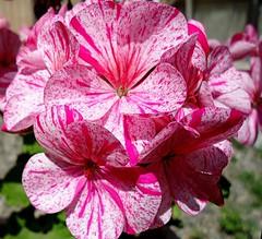 Very colorful geranium. (Marythere) Tags: pink sun geranium ~ geranio amazingdetails