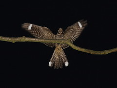 Touch down(or sould that be cock up).Nightjar,Caprimulgus Europaeus (trickydicky1964) Tags: summer male bird nature birds inflight dusk wildlife tripod north norfolk heath british nightshots 2012 heathland nightjar site1 europaeus caprimulgus nightjars canon450d canonspeedlite430exii sigma150500mmf563dgoshsm glavenvalley trickydicky1964