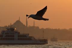 Hazerfan Anısına; İstanbul Kanatlarımın Altında (Y. Oğuz) Tags: sunset fbdg