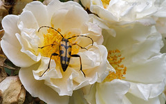 The Beetle.. love the rose.. (Ollie_57) Tags: summer england plant flower macro nature june rose fauna canon bug insect flora ngc devon npc 7d bloom shrub wildflower 2012 longhornbeetle shaldon beelte tamronsp90mm rutpelamaculata ollie57