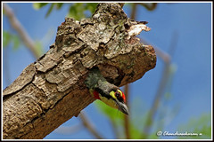 2307 - exploring the world (chandrasekaran a 560k + views .Thanks to visits) Tags: india nature birds canon nest chick coppersmith barbet thegalaxy blinkagin powershotsx40