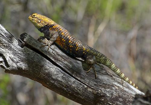 nature desert reptile grandcanyon lizard nationalparks riparian sceloporusmagister desertspiny