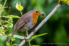 Tasty Morsel (Andy Morffew) Tags: food robin insects hampshire itchenabbas naturethroughthelens birdperfect andymorffew morffew