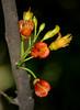 Castanospermum australe (zimbart) Tags: africa zimbabwe fabaceae papilionoideae castanospermumaustrale castanospermum chirindaforest