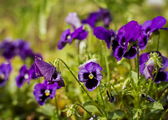 182-366 purple pansies (saralonde) Tags: purple pansies 182366