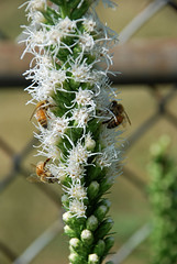 bee party (Explored) (ihynz7) Tags: flowers white alba bee honeybee liatris pollinating blazingstar liatrisspicata gayfeather