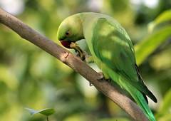Rose Ringed Parakeet (Renuka Marshall) Tags: green bird garden branch eating parrot parakeet hungry srilanka greenparrot roseringedparakeet freedomtosoarlevel1birdphotosonly