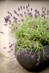 Lavender (Nada*) Tags: summer plant flower detail green beautiful canon garden 50mm dof purple gardening lavender pot lilac fragrant growing botany potted fragrance levandula