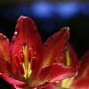 Lily (Solomulala | mostly weekends ;-( !) Tags: light red flower macro canon rojo lily lirio stems tamron90mm lelie solomulala