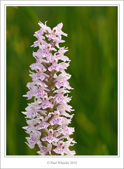 Common Spotted Orchid (Paul_Wheeler) Tags: uk pink orchid flower macro nature closeup fauna britain meadow devon british spotted common dactylorhiza fuchsii