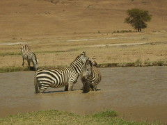 two zebra in a river (Real Africa) Tags: africa wild tanzania kenya running safari zebra herd grazing safarianimal
