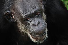Portrait de chimpanz - Chimp portrait (VdlMrc) Tags: portrait face animal monkey eyes nikon chimp yeux gaze visage regard singe d90 almosthuman chimpanz nikkor55300mm presquehumain