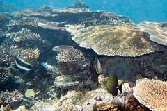 fiji snorkeling coralreef lomaiviti crownofthornsstarfish acanthasterplanci wakaya homesteadbay korosea