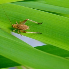 """""""Greenvue Avenue"""" (jamesfburns) Tags: macro green insects save bugs avenue grasshoppers crickets daylillies jamesburns daylillyleaves insectsoftheworld me2youphotographylevel1 jaybeejb greenvueavenue greenvue insectsoftheusa closeupsofbugs"""