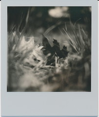 The Dark Leaf. (N.Misciagna) Tags: plants white black slr leave film field grass closeup analog project polaroid grey uv foliage tip 600 frame integral instant shallow depth 680 imposible px bw