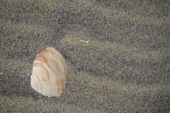 Shells at Sandy Hook (Rich Renomeron) Tags: olympusmzuiko1442mmf3556ez olympusomdem10 beach newjersey sandyhook seashells
