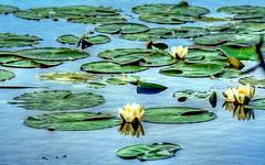 waterlillies (eyeamsterdam) Tags: waterlillies