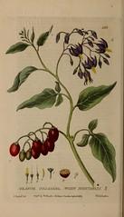 Anglų lietuvių žodynas. Žodis woody nightshade reiškia medienos palikuonys lietuviškai.