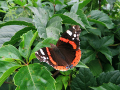 Le Vulcain (Vanessa atalanta) (Didier Auberget Photographie) Tags: macro insecte insecta endopterygota lepidoptera lpidoptre nymphalidae nymphalinae vanessa vanesse vanessaatalanta vulcain papillon butterfly vanesseamiral redadmiral