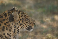 050_Great Cats Park_Leopard (steveAK) Tags: greatcatsworldpark leopard