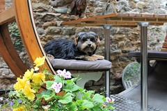 Flo Yorkie Poo Puppy in  the garden (@oakhamuk) Tags: flo yorkiepoo puppy garden martinbrookes