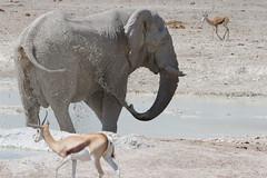 Namibia 2016 (317 of 486) (Joanne Goldby) Tags: africa africanelephant antidorcasmarsupialis august2016 elephant elephants etosha etoshanationalpark explore loxodonta namiblodgesafari namibia safari springbok antelope