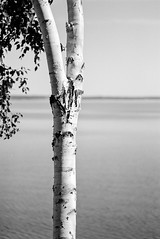 Birch on the bay (chrism229) Tags: pentaxmzs 100mmf28 ilfordxp2super kodakhc110 149 hasselbladx1