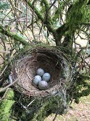 IMG_2027 (JMarshall78) Tags: nest nests ornithology birds wildlife devon