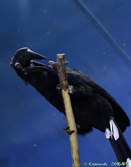 Calao charbonnier (eminorah) Tags: oiseau plume bec noir zoodesarrebrcken joueur