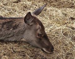 A trip to Wildwood - Young Red Deer - archiving (favmark1) Tags: wildwood reddeer